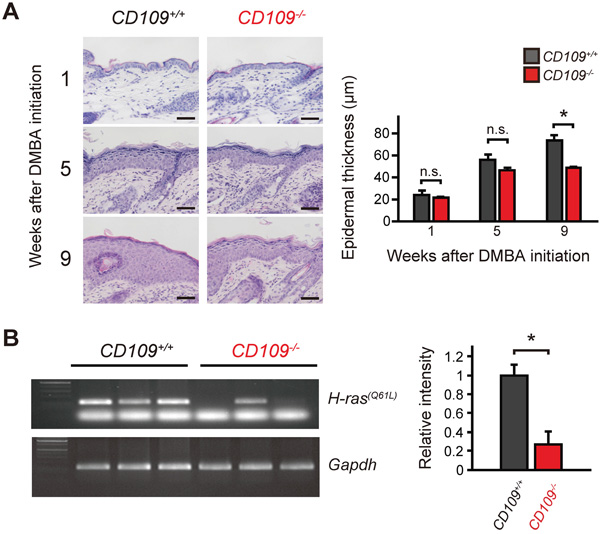 DMBA/TPA-induced proliferation of epidermal keratinocytes was suppressed in CD109−/− mice.