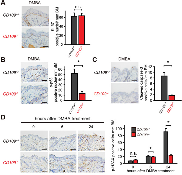 CD109 deficiency decreased skin sensitivity to DMBA.