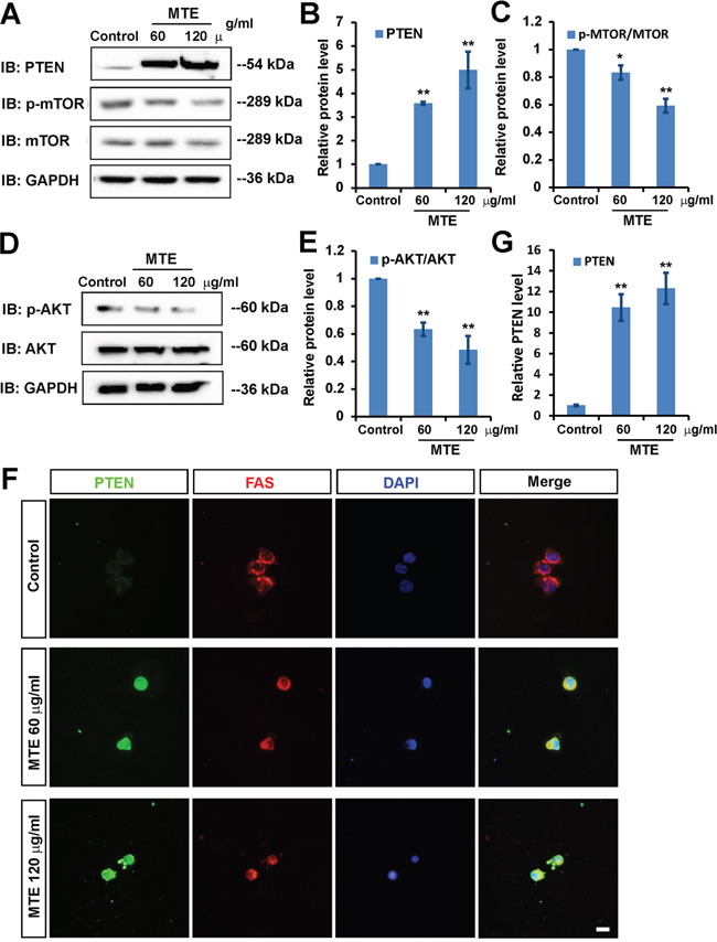 MTE inactivated PI3K/AKT/mTOR signaling pathway though enhancing PTEN.