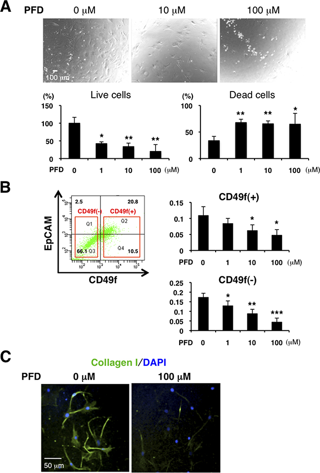 PFD has inhibitory effects on cell viability and collagen production in CAFs.