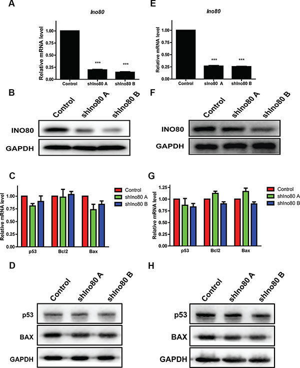 Ino80 knockdown and cell apoptosis detection.