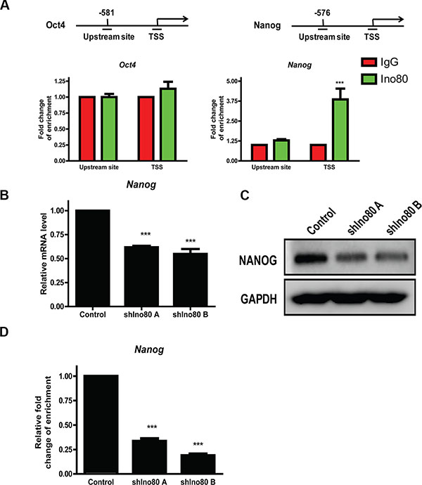Ino80 promotes Nanog expression by binding to its transcription start site (TSS).