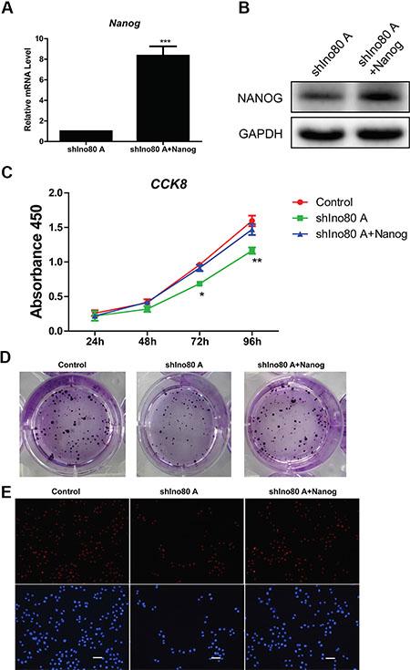 Nanog overexpression promotes cervical cancer cell proliferation.