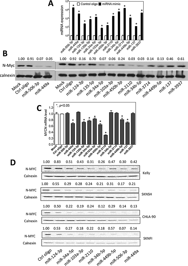 Regulation of N-myc expression by differentiation-inducing miRNAs.