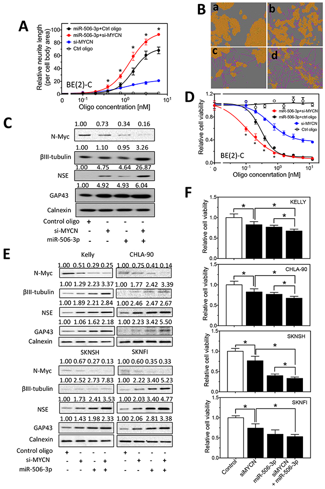 Effect of MYCN knockdown and miR-506-3p overexpression on cell differentiation and cell survival in neuroblastoma cells.