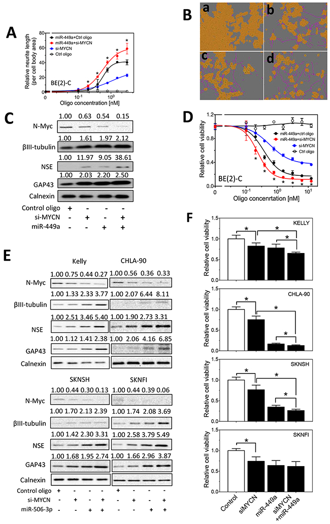 Effect of MYCN knockdown and miR-449a overexpression on cell differentiation and cell survival in neuroblastoma cells.