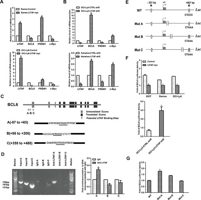 Transcriptional regulation of BCL6 by LITAF.