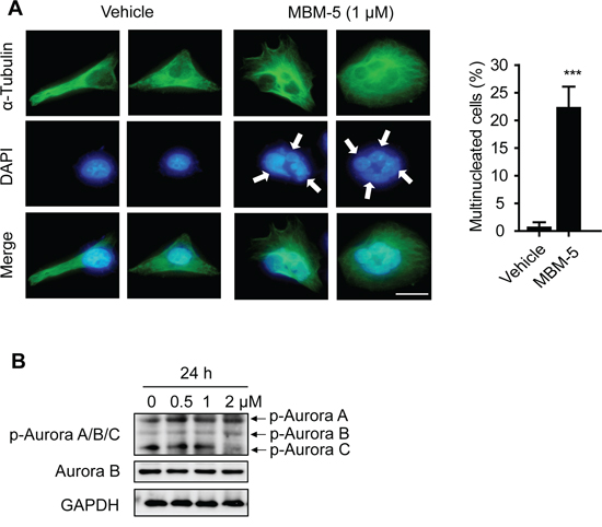 MBM-5 increases formation of multinuclear cells.