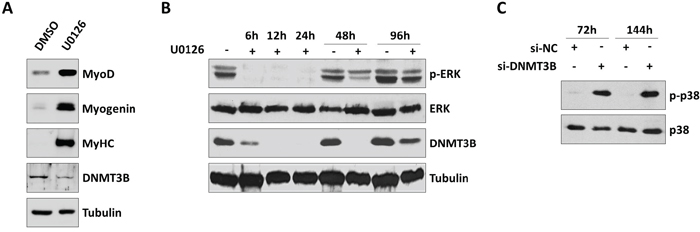 Inhibition of MEK/ERK pathway by U0126 down-regulates DNMT3B and induces myogenic program in RD cells.