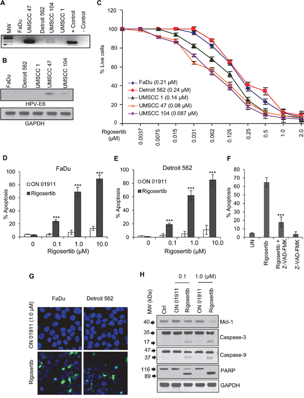 Rigosertib reduces viability and enhances apoptosis in HNSCC cell lines.