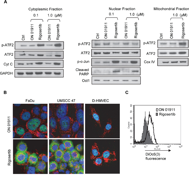 Rigosertib induces translocation of ATF2 from the nucleus to the cytoplasm, and its co-localization to mitochondria in HNSCC cell lines.