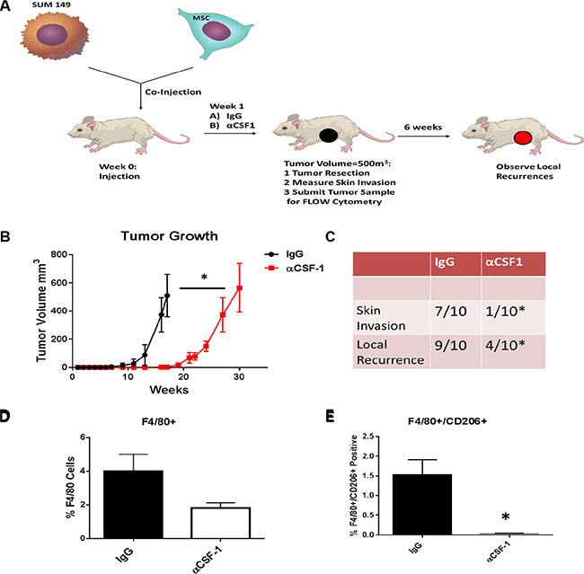 Inhibiting M2 macrophage recruitment in the in vivo IBC model inhibites IBC growth and skin invasion.