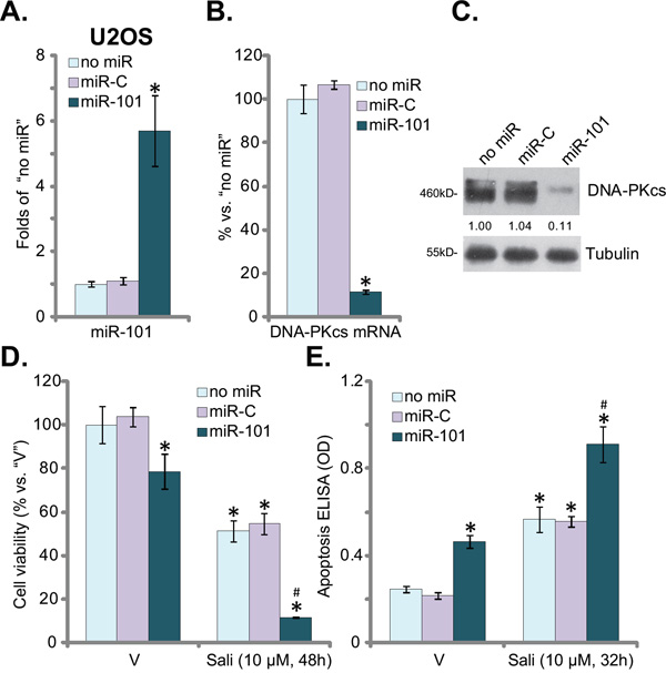miR-101 downregulates DNA-PKcs and augments salinomycin's cytotoxicity in OS cells.