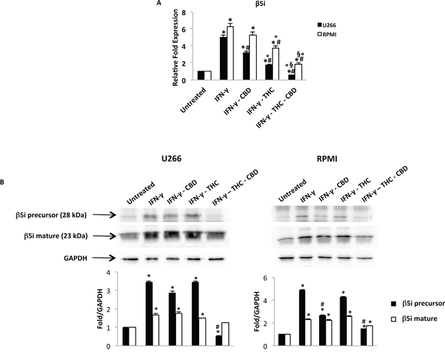 Regulation of the β5i subunit by THC and CBD in MM cell lines stimulated with IFN-γ.