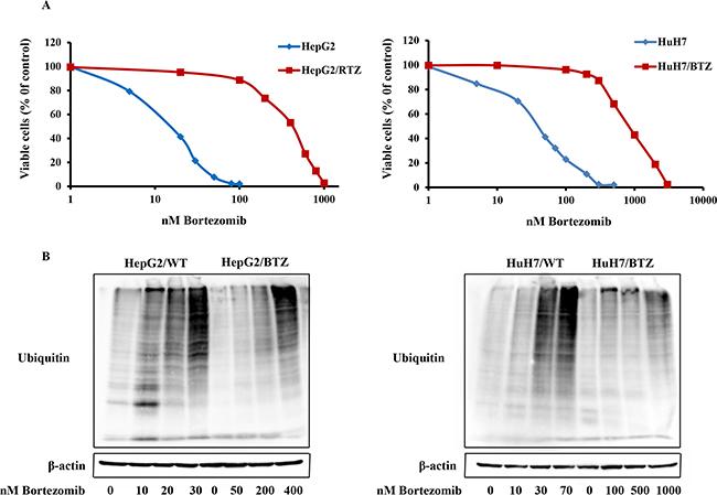 Resistance to the proteasome inhibitor bortezomib in bortezomib-resistant HCC cell lines HepG2/RTZ and HuH7/RTZ.