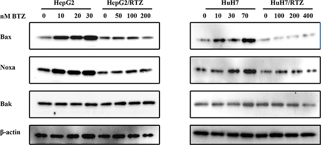 The dose-dependent analysis of Bcl-2 family proteins in bortezomib-resistant HCC cells and their parental cells.