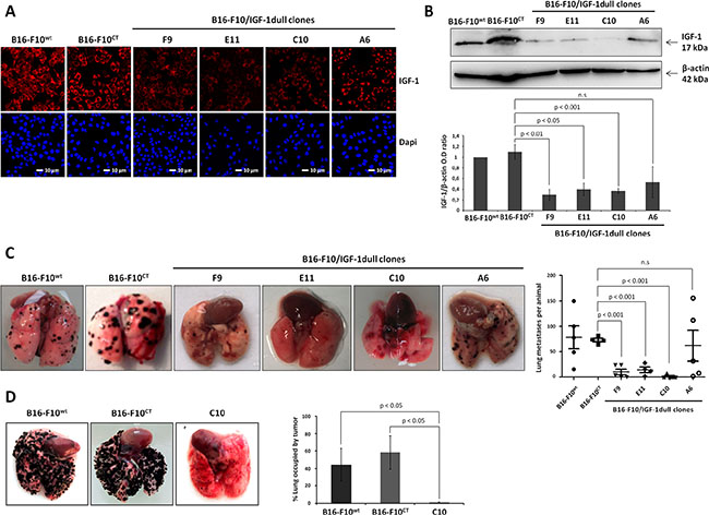 IGF-1 downregulation impairs lung colony formation by B16-F10 melanoma cells in immunocompetent and immunodeficient mice.