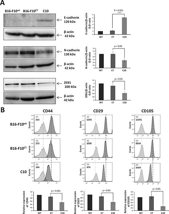 IGF-1 downregulation promotes mesenchymal-to-epithelial transition.