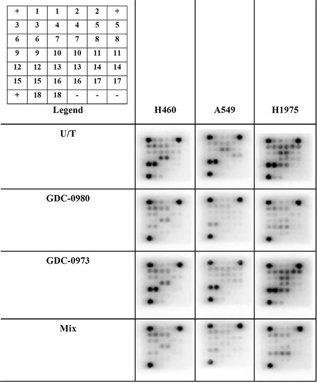 The effects of co-targeting PI3K-mTOR and MEK on phosphoprotein expression in a panel of three NSCLC cell lines.