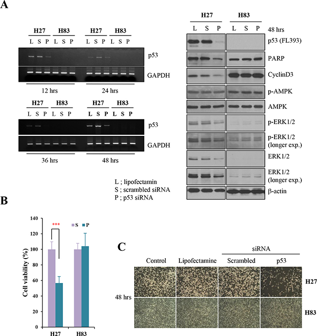 Knockdown analysis of p53 in tumor cells from GOF mutant or null mice.