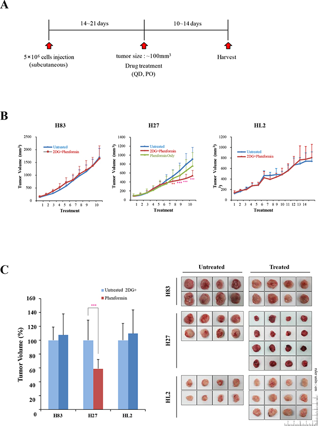 The effects of 2-DG and phenformin on cell migration and tumor growth were explored with p53 mutant cell grafts.
