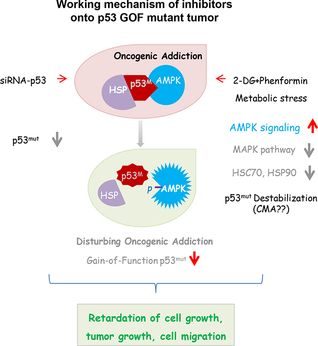 Synergistic influence is expected in cells harboring a GOF p53 mutation, when oncogene addiction and tumor metabolism are simultaneously disturbed.