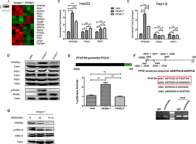 PFKFB4 is a target gene of PPARγ gene-expression data from HepG2 cells transfected with PPARγWT or PPARγSA.