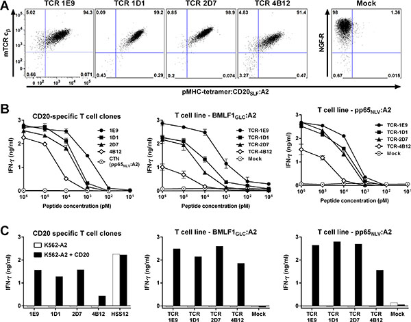 Functional avidity measured of T-cell clones depends on affinity of TCR.