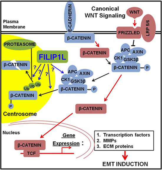 The proposed role of FILIP1L in inhibiting cancer cell invasion and metastasis through inhibition of WNT signaling.