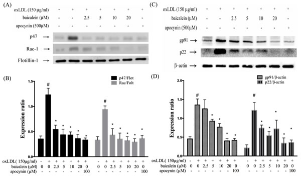 Baicalein attenuated the level of NADPH oxidase membrane assembly.