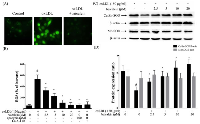 Inhibitory effects of baicalein on oxLDL-induced ROS generation in HUVECs.