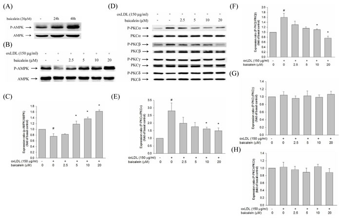 Effects of baicalein on oxLDL-impaired phosphorylation of AMPK and PKC activation in HUVECs.