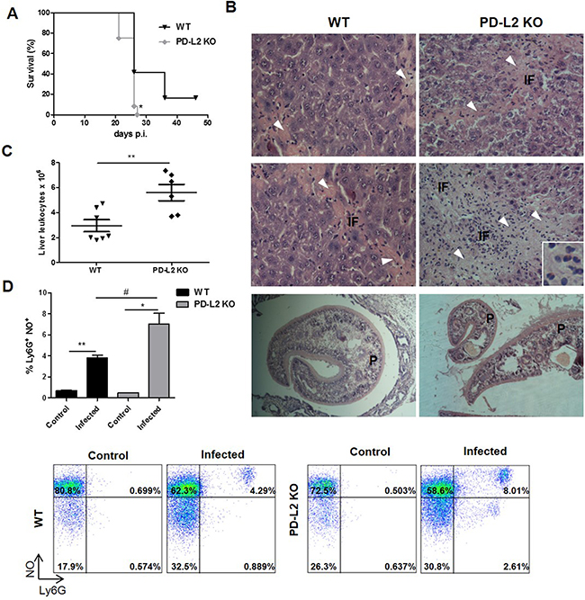 Increased susceptibility to F. hepatica infection in PD-L2 KO mice.