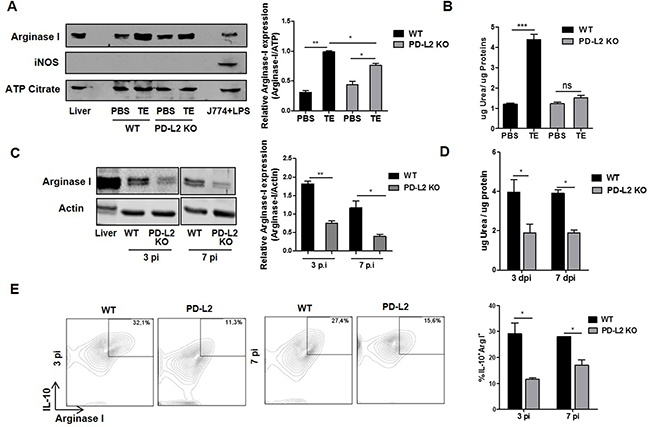 Reduced alternative activation of macrophages in total extract antigen (TE) injected or infected PD-L2 KO.