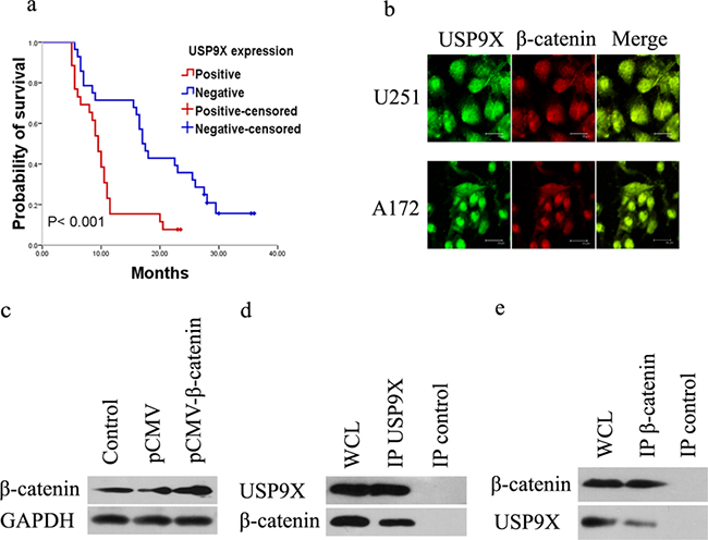 USP9X interacted with β-catenin.