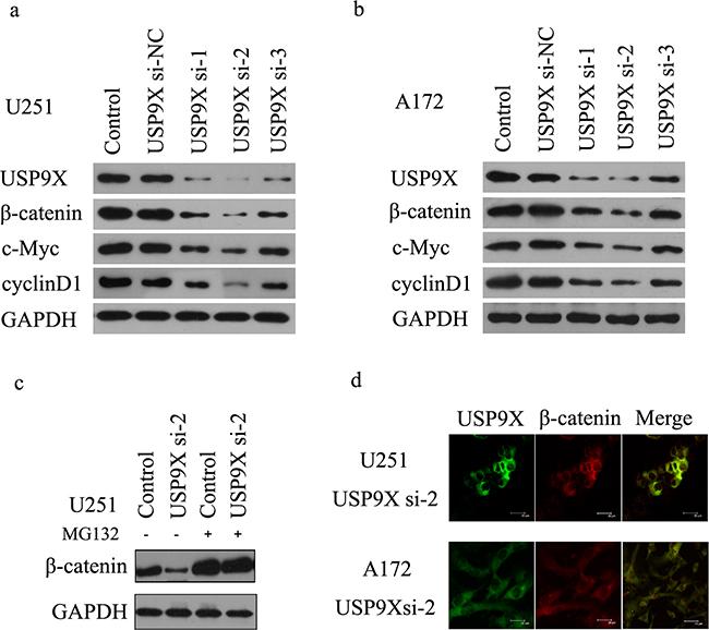USP9X inhibition retarded WNT/β-catenin signal pathway.