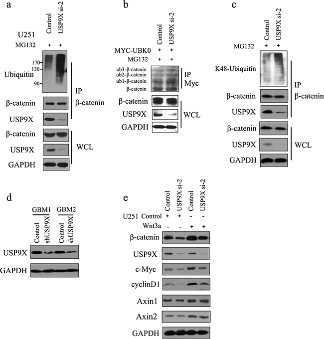 USP9X knockdown caused increase of K48-ubiquitinated β-catenin.