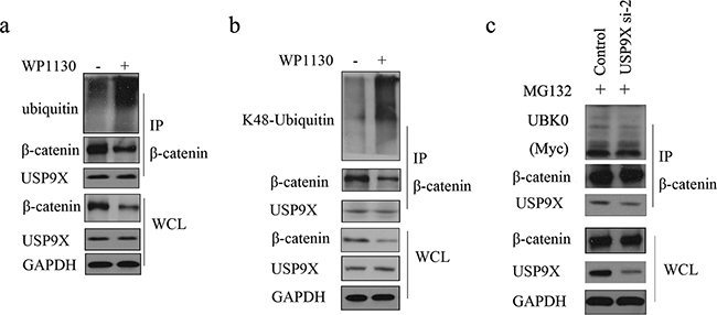 USP9X specific inhibitor WP1130 treatment increased of K48-ubiquitinated β-catenin.