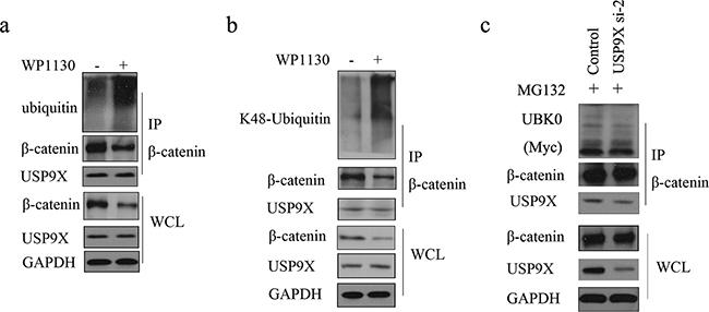 USP9X specific inhibitor WP1130 treatment increased of K48-ubiquitinated β-catenin.