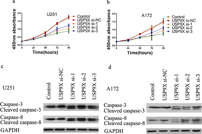 Cell proliferation decreased after USP9X knockdown.