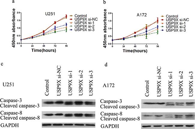 Cell proliferation decreased after USP9X knockdown.