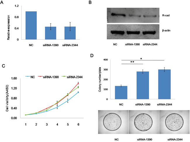 Knockdown of CDH4 promotes the proliferation of SACC-83 cells.