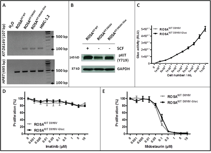 Effects of transduction of ROSAKIT D816V cells with LV-Gluc-CFP on KIT activation and response to TKIs.