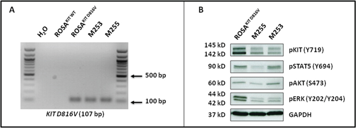 ROSAKIT D816V-Gluc cells express in vivo KIT D816V mutant leading to constitutive phosphorylation of KIT and of downstream signaling pathways after secondary transplantation.