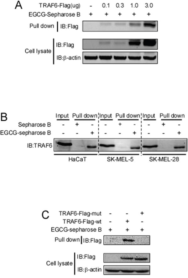 EGCG directly binds to TRAF6.