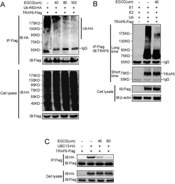 EGCG suppresses the E3 ubiquitin ligase activity of TRAF6.