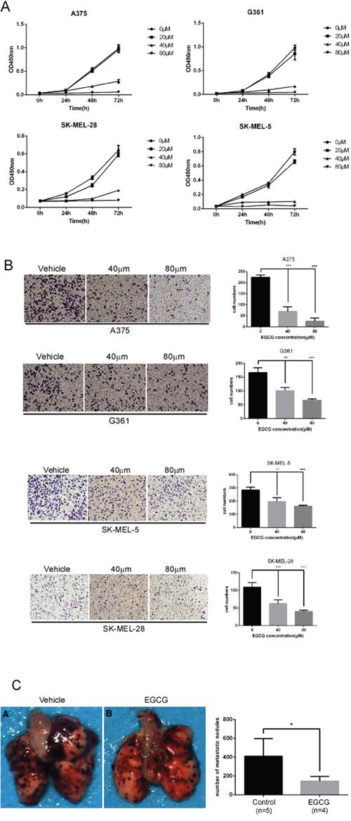 EGCG attenuates the migration, invasion and proliferation of melanoma cells.