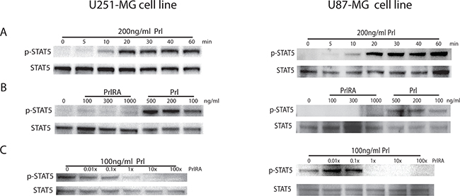 Effect of Prl and a PrlRA on STAT5 phosphorylation in U251-MG and U87-MG cells.