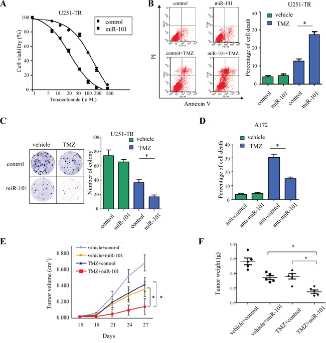 MicroR-101 sensitizes resistant GBM cells to TMZ.