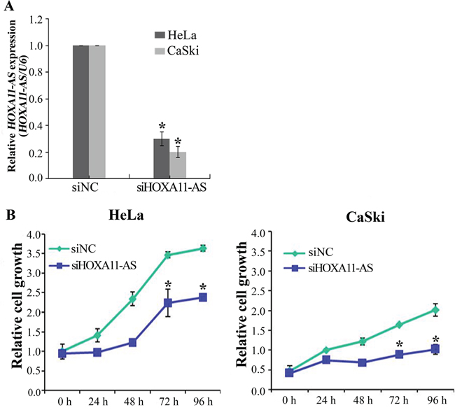 Knockdown of HOXA11-AS inhibits the proliferation of cervical cancer cells.
